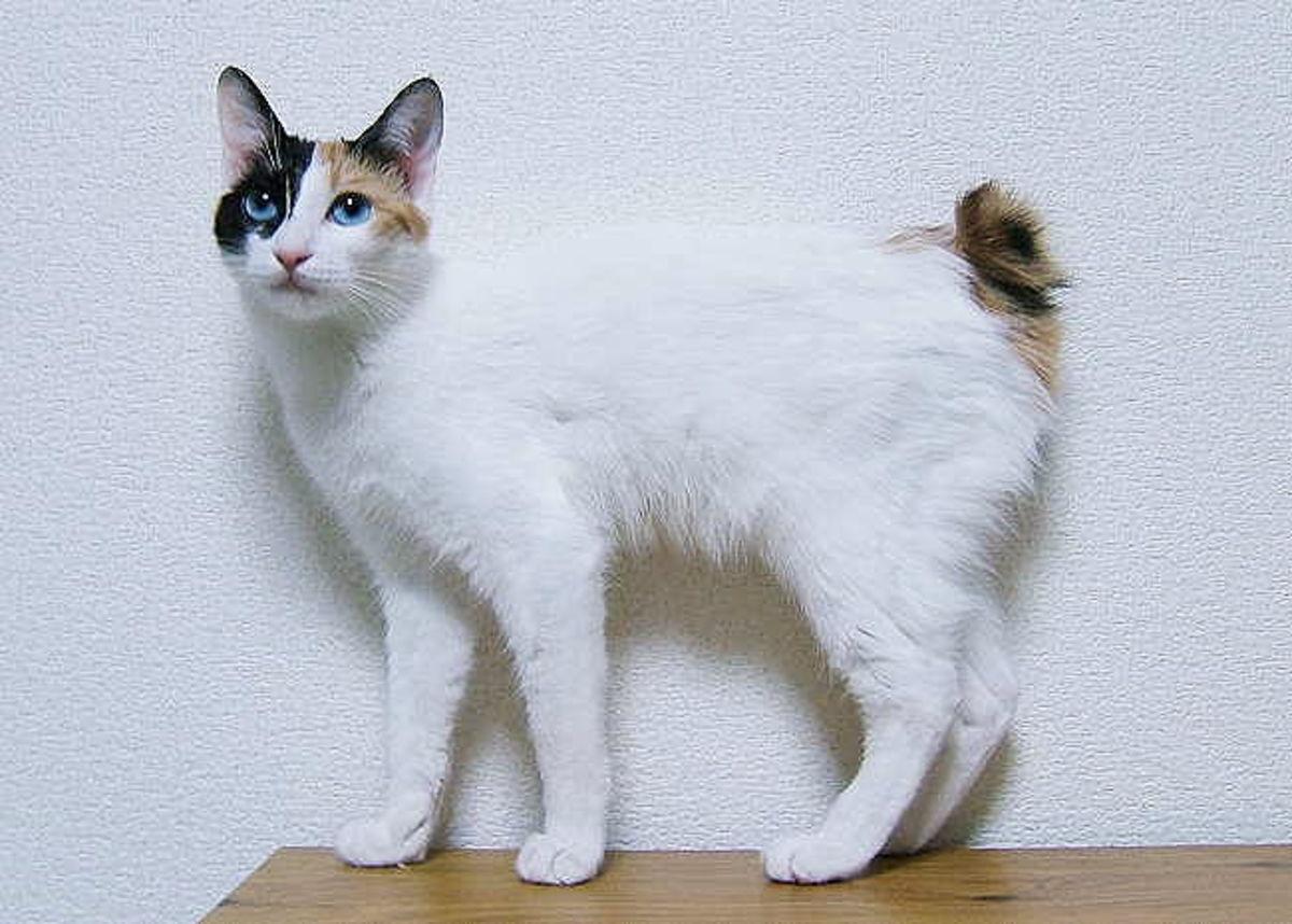 Japanese Bobtail.