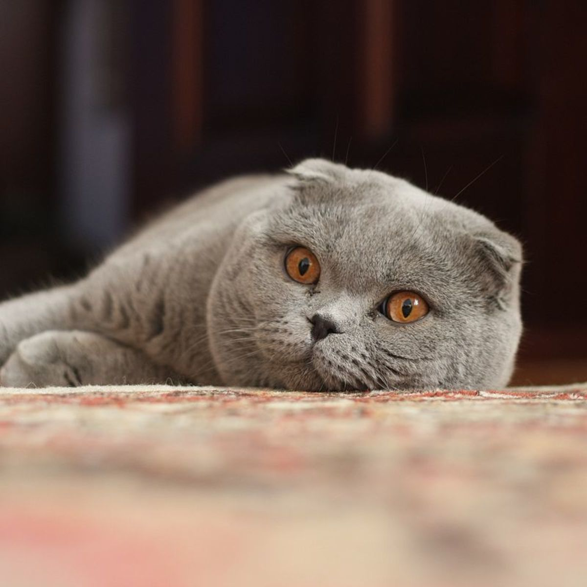 The Scottish Fold.