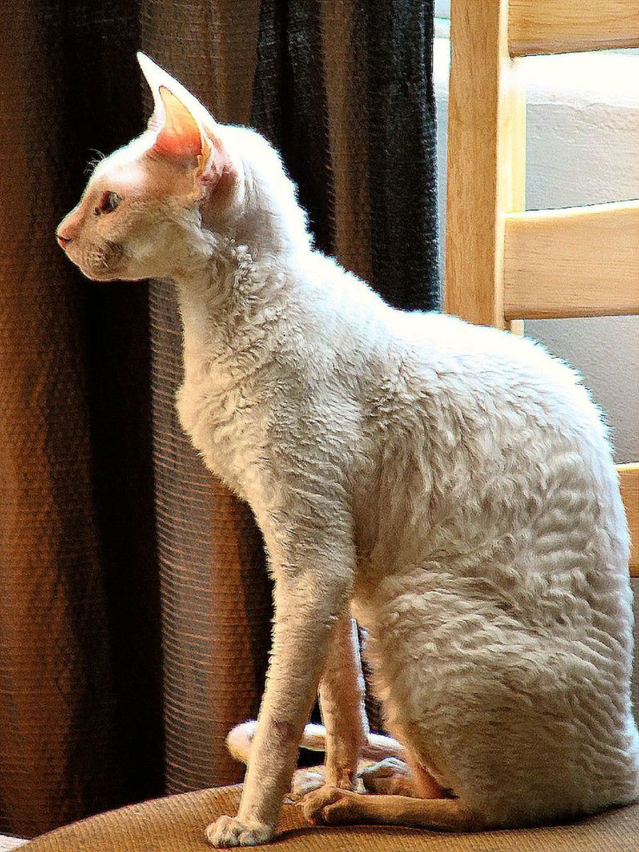 The Cornish Rex.