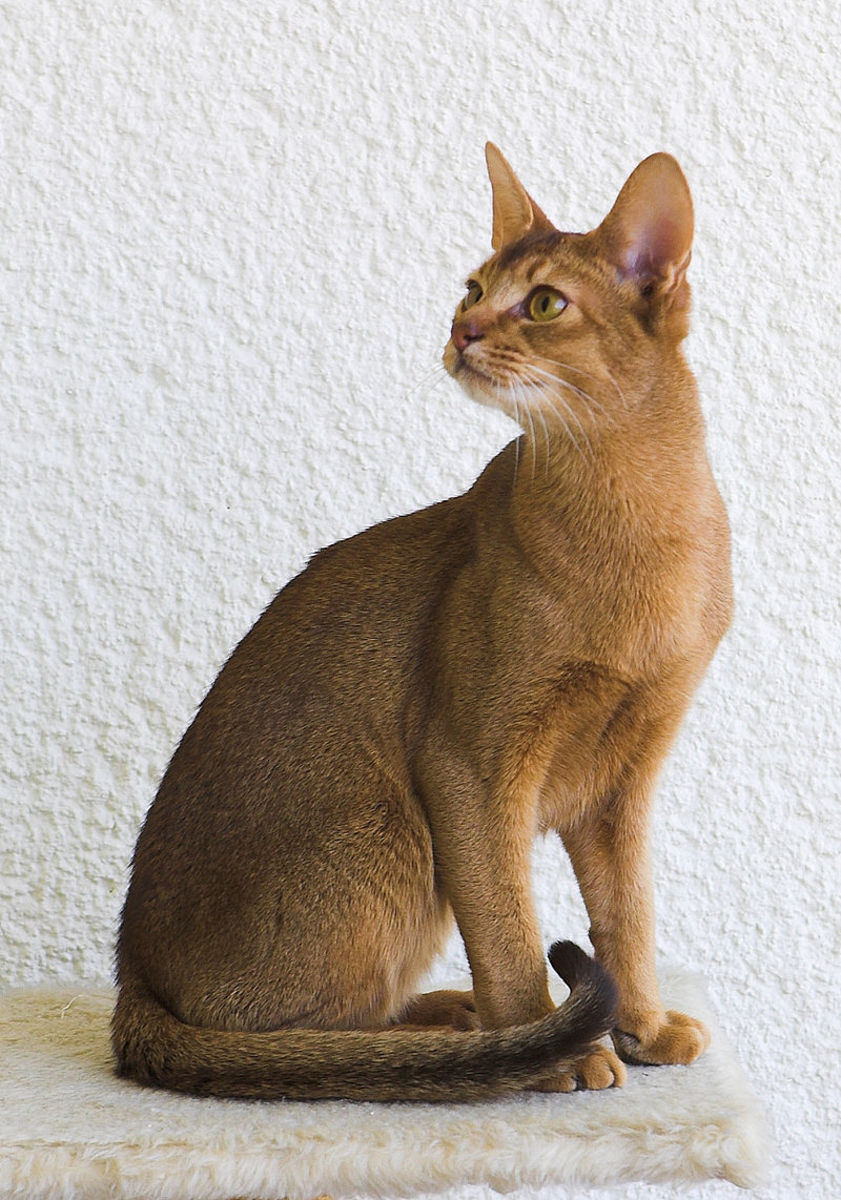The Abyssinian; largely cited as the smartest cat breed in the world.