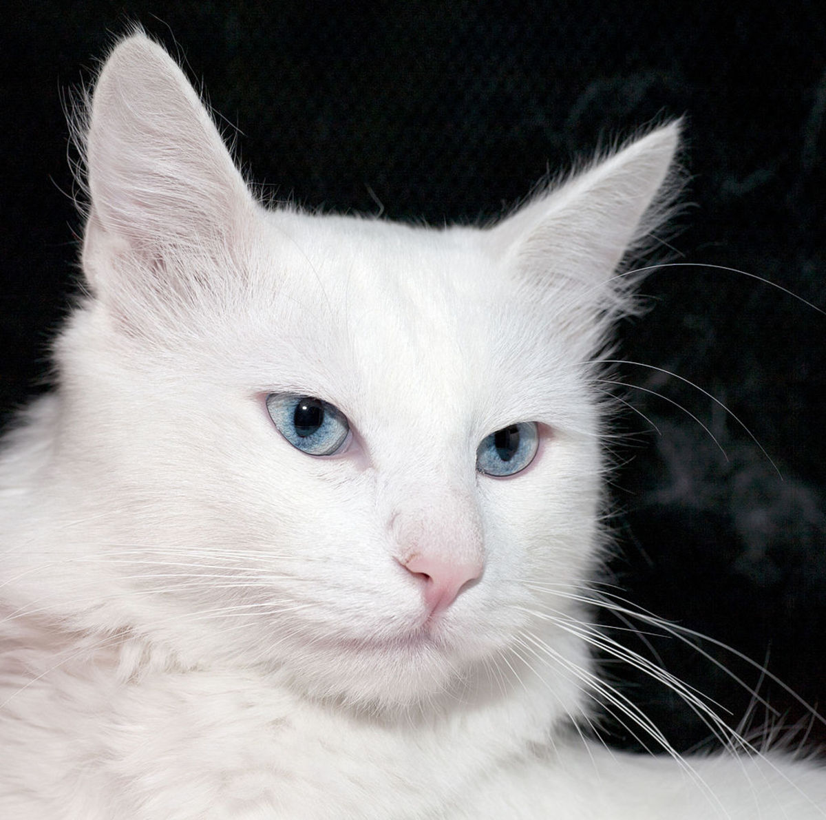 The beautiful Turkish Angora.
