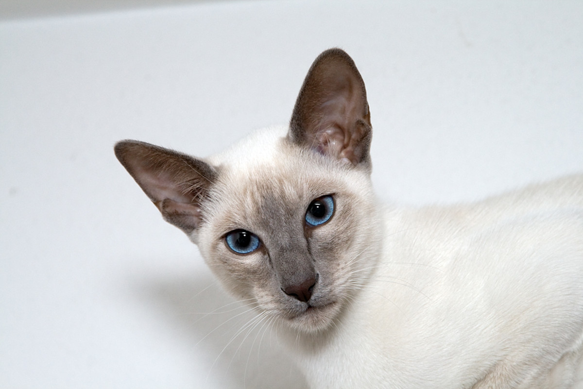 The Siamese cat.