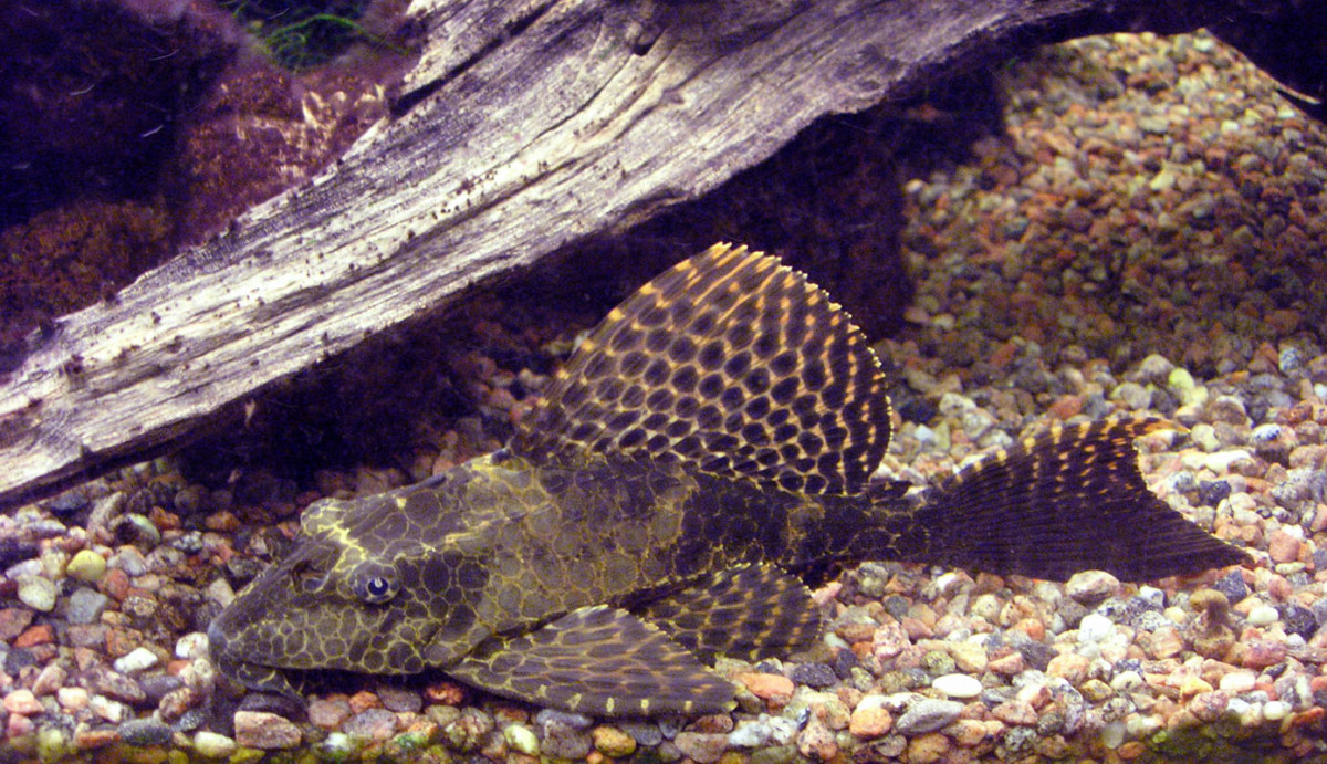The plecostomus is a type of catfish