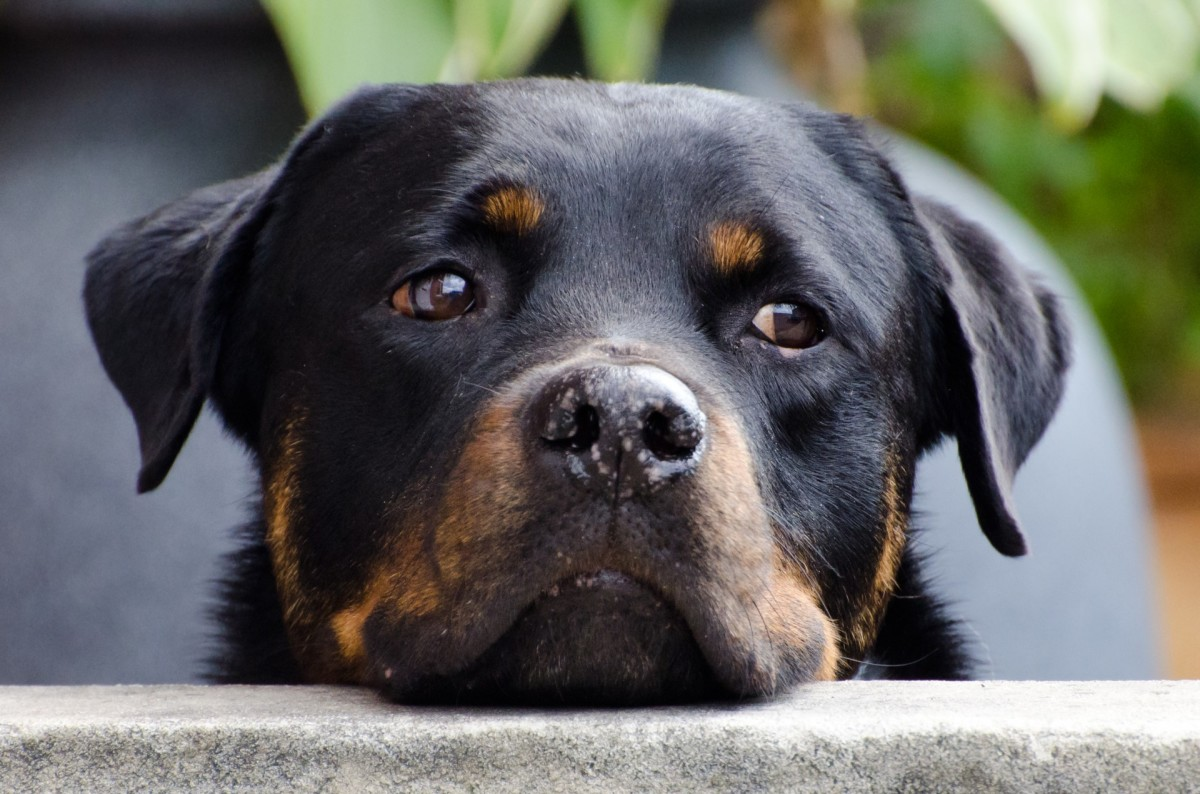 Breeds like the Rottweiler can be perceived as aggressive - don't add to that image with a fierce name
