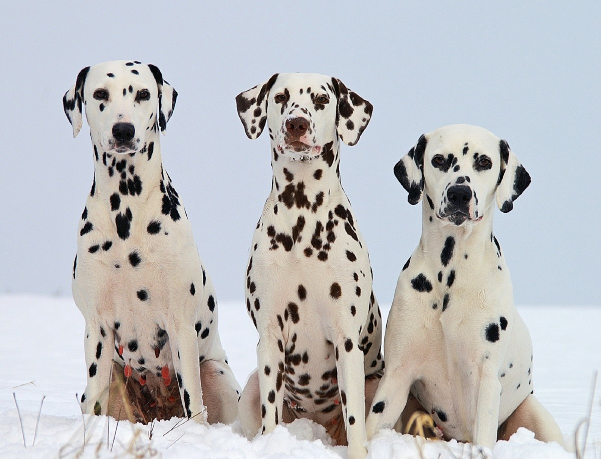 Calling a Dalmatian 'Spots' might be a little obvious