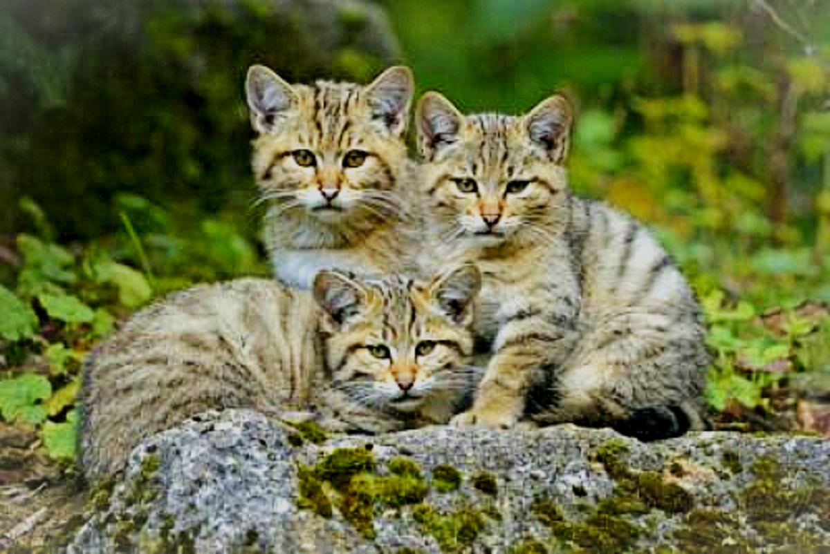 """African Wild Cats/Kittens (""""Cat of the Woods"""")."""