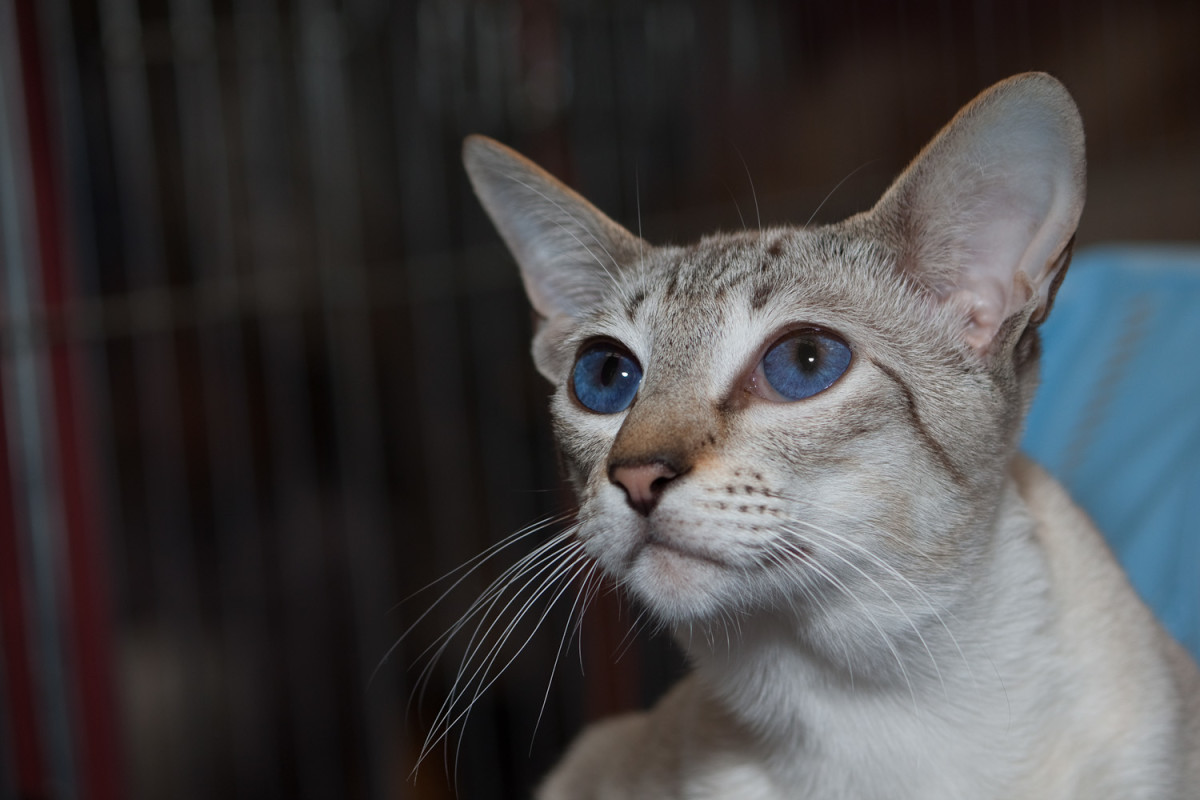 Siamese Seal Tabby Silver