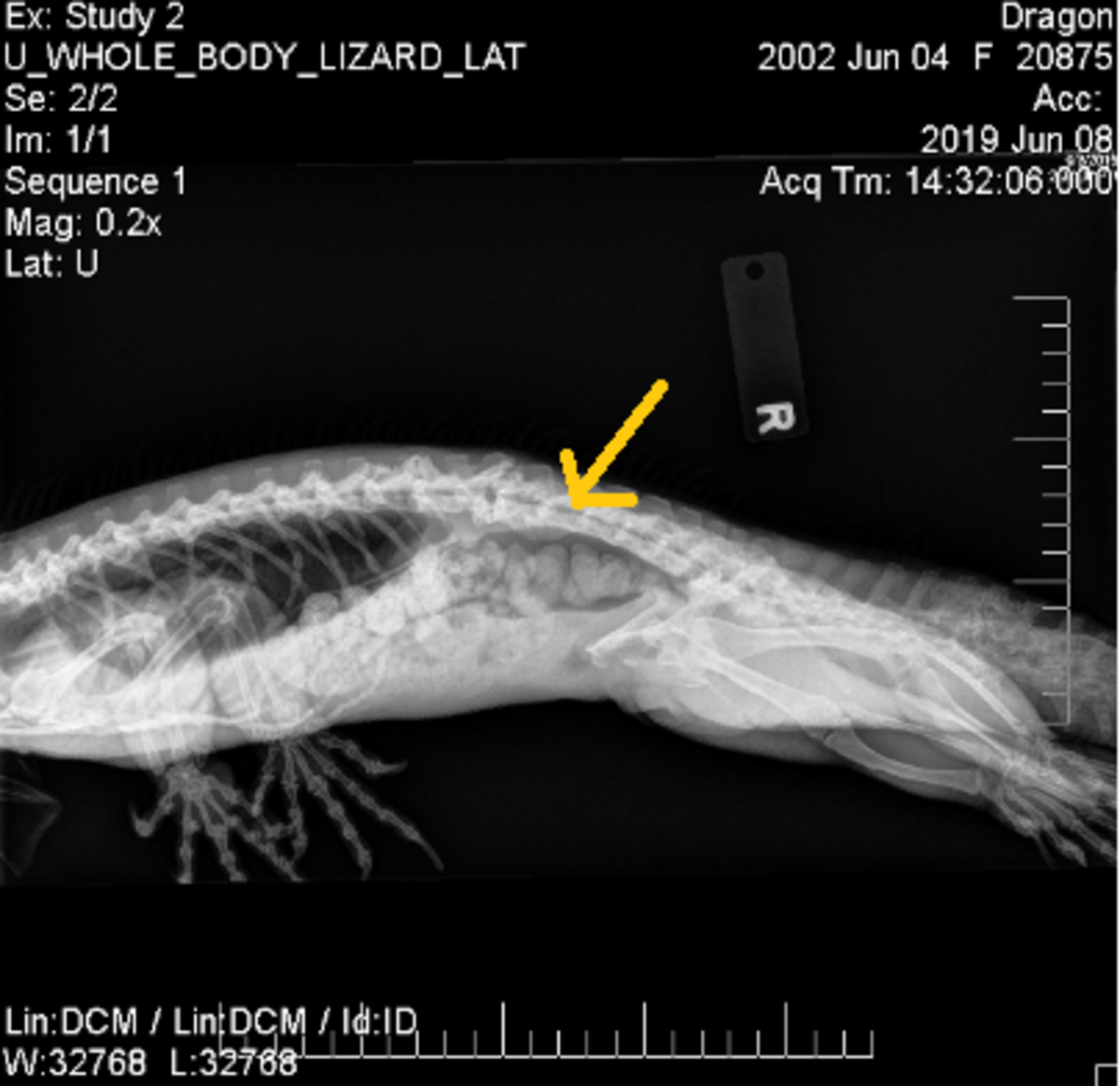 The yellow arrow points to the area where the poop had stalled. Notice how high this area is and why massaging the belly wouldn't access this point. The bladder on the other hand, is below.