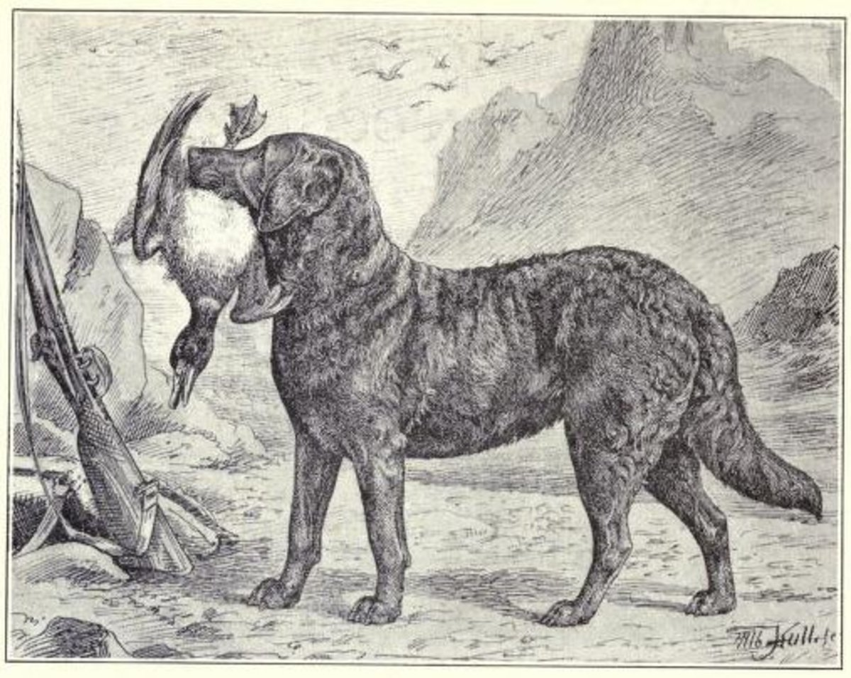 1915 drawing of a Chesapeake Bay Retriever.