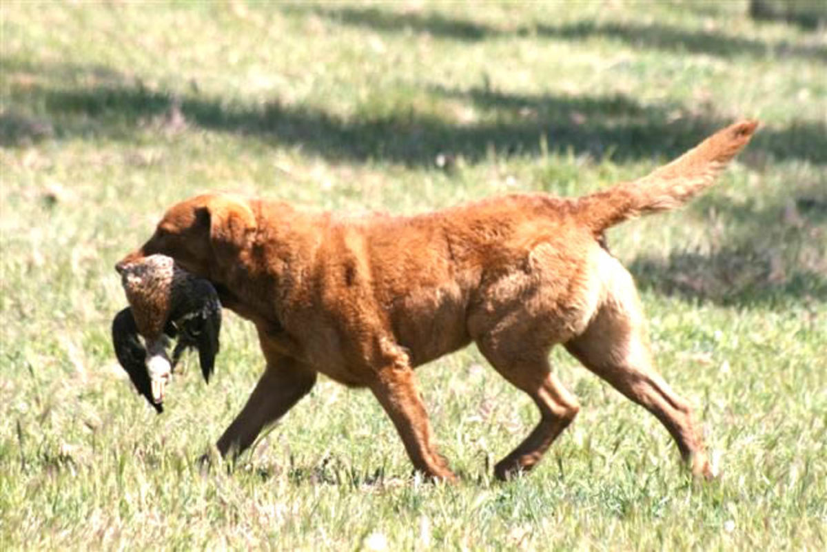 Chesapeake Bay Retriever (pictured above) participating in hunting excursion.
