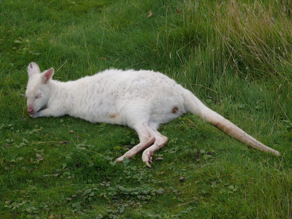 A less common white wallaby