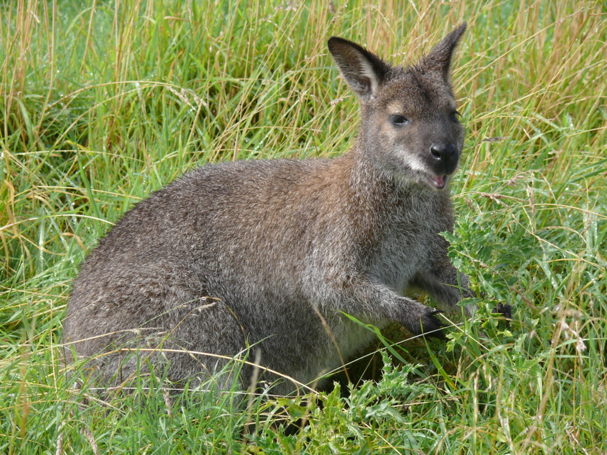 Pet Wallaby Care A Comprehensive Care Guide For Beginners Pethelpful By Fellow Animal Lovers And Experts