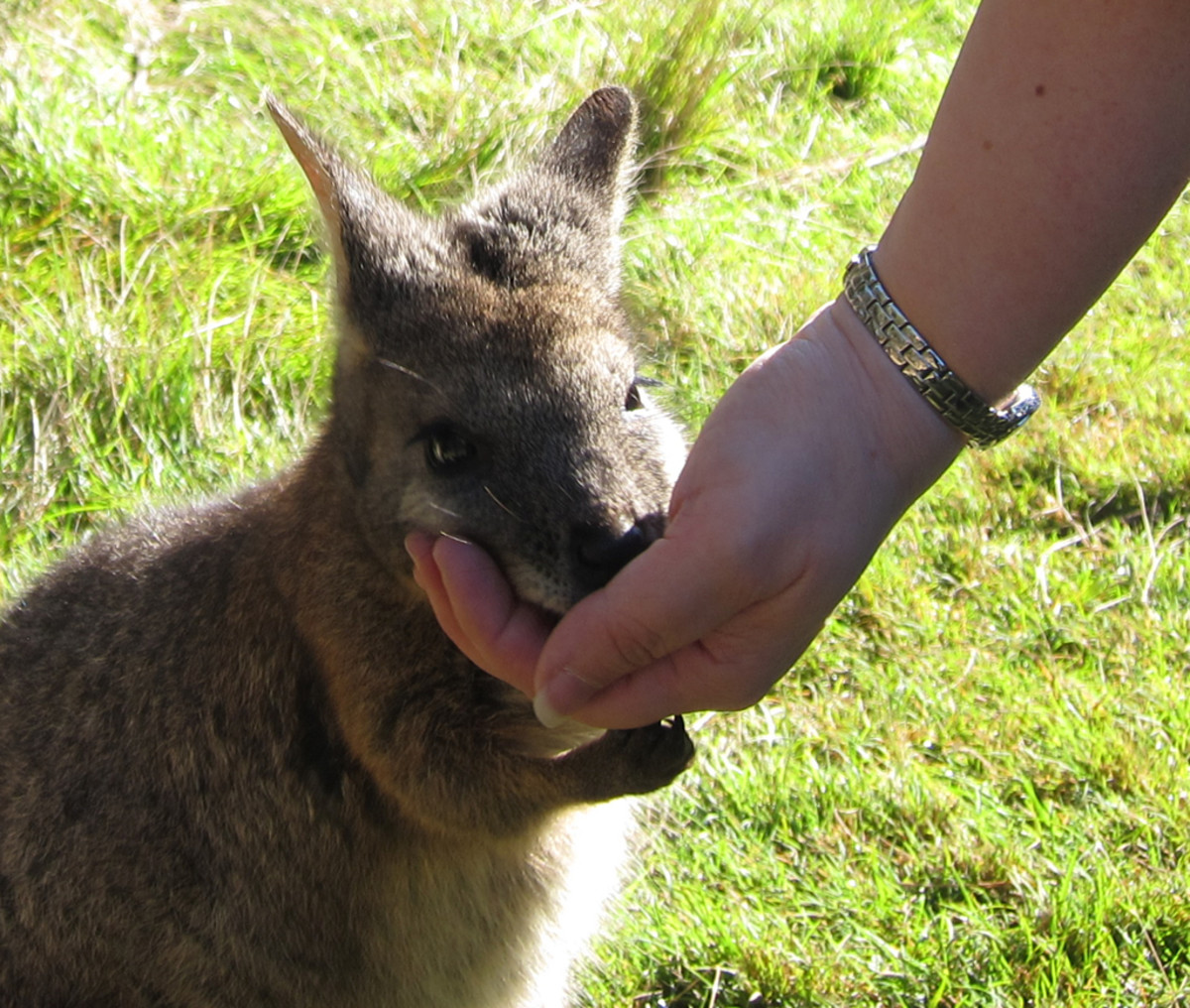 A wallaby being fed