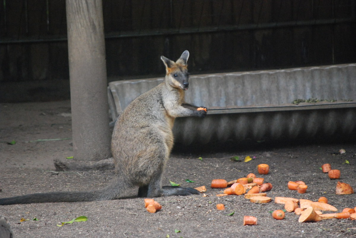 pet-wallaby-care-a-comprehensive-care-guide