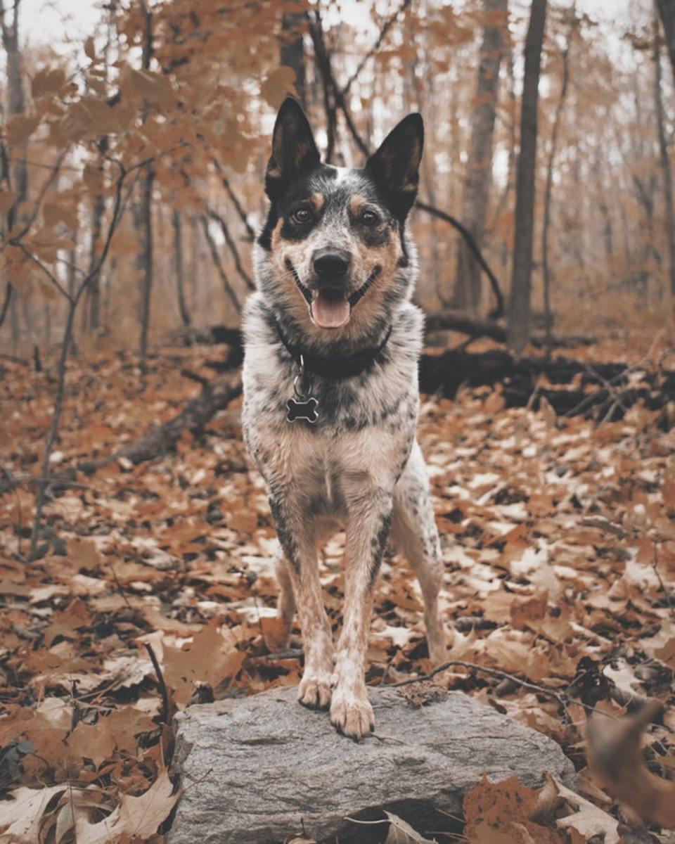Australian Cattle Dog (Blue Heeler) posing for the camera.