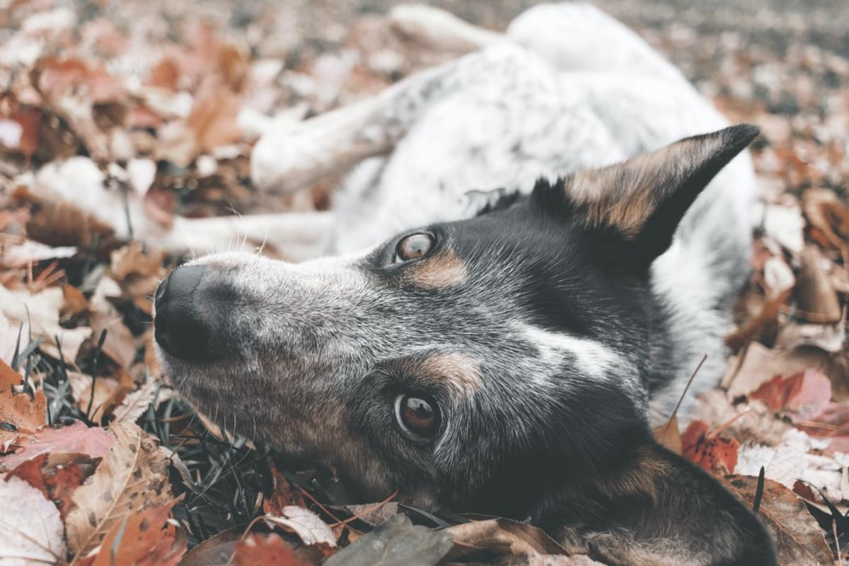 Australian Cattle Dog playing in pile of leaves.