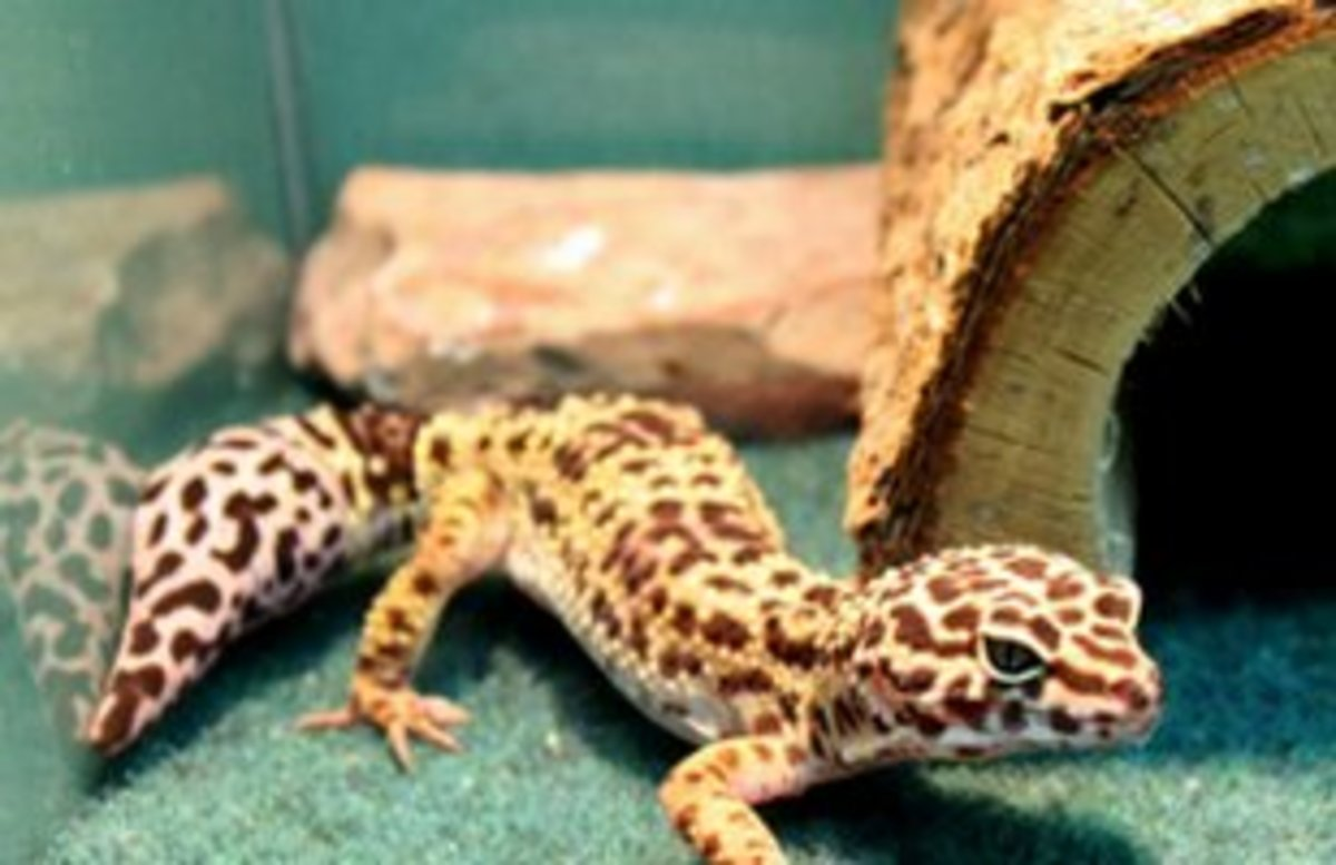 Leopard geckos need plenty of hides! A minimum of 3 is required.