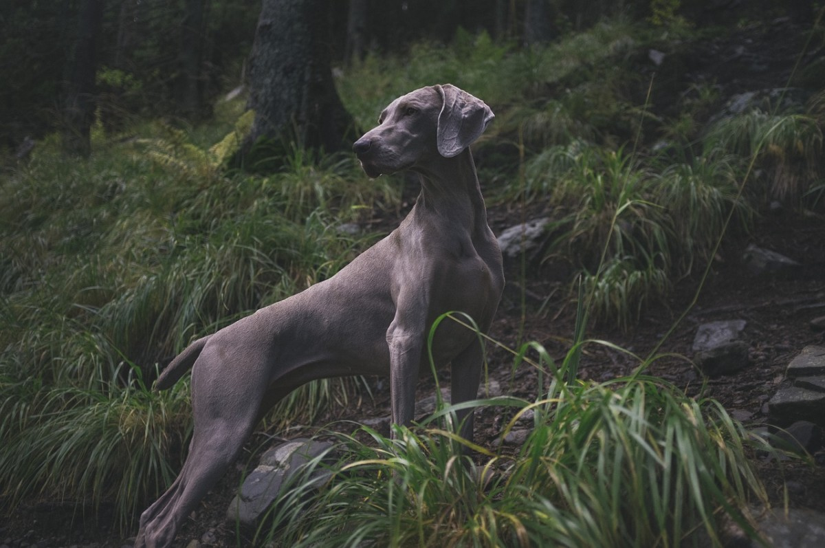 Weimaraner participating in a hunting expedition with their owner.