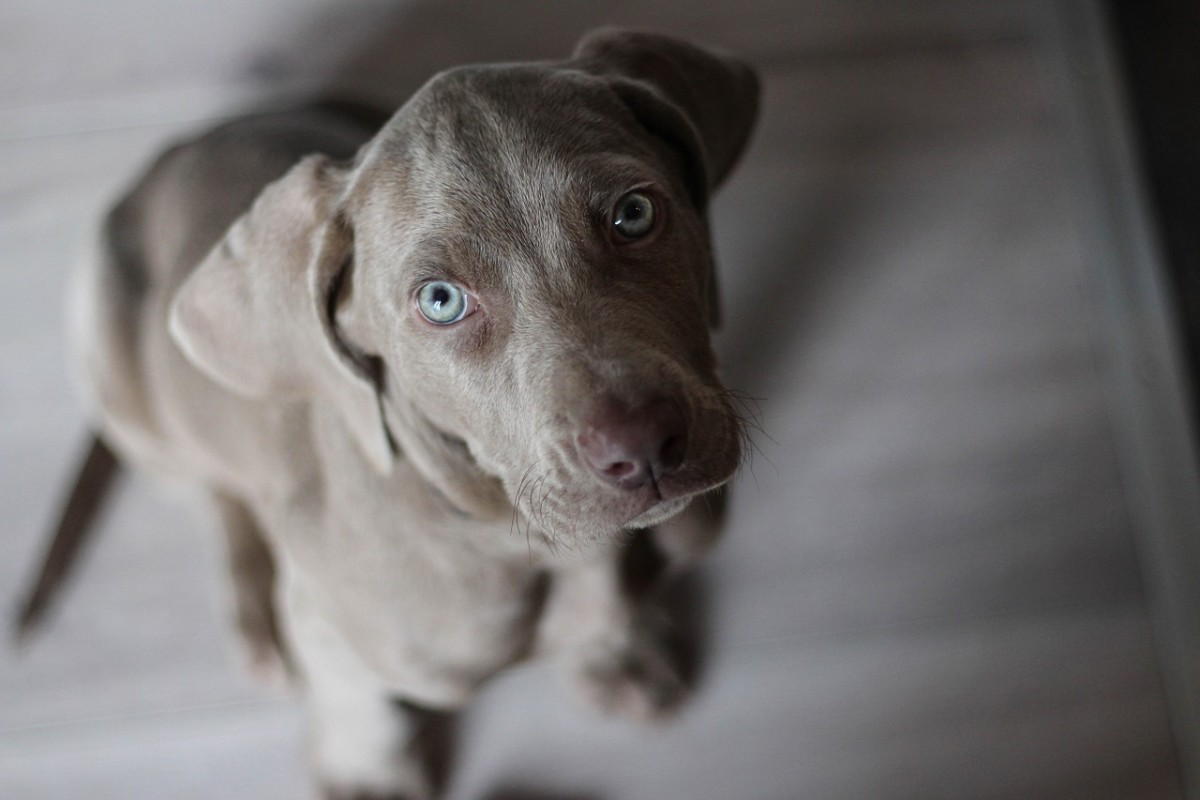 Pictured above is an adorable Weimaraner puppy.
