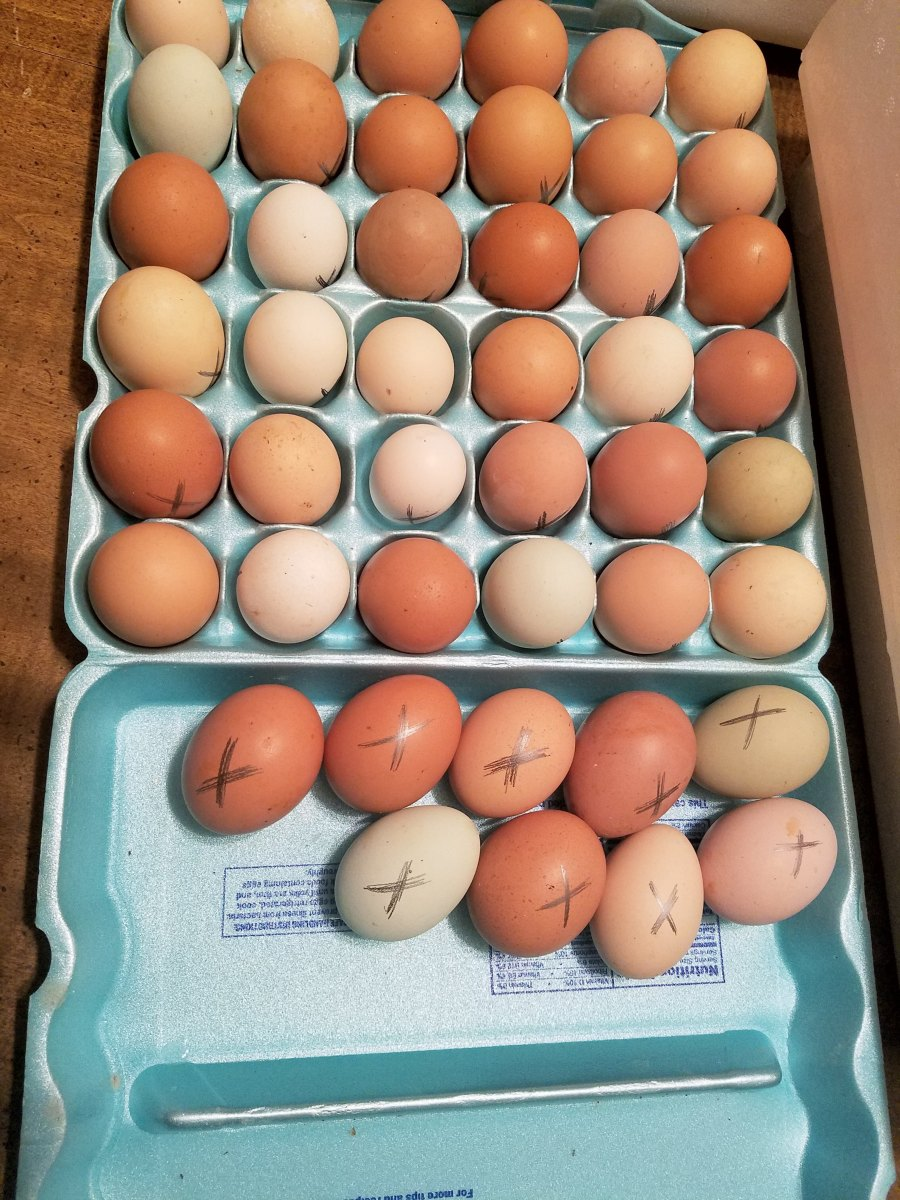 Eggs marked and ready for the incubator