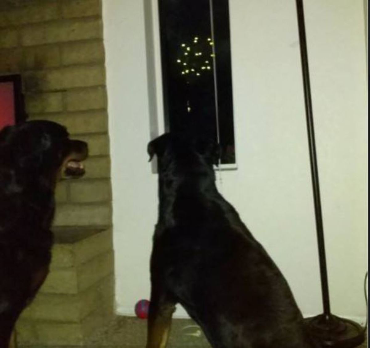 My dogs watching a Fourth of July firework display