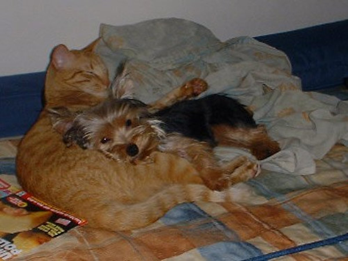 Many terriers do not get along with cats but of course there are exceptions.