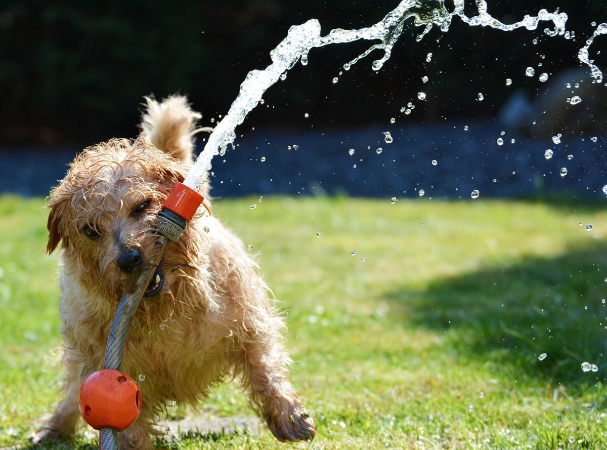 Norfolk Terrier playing with sprinkler outside.