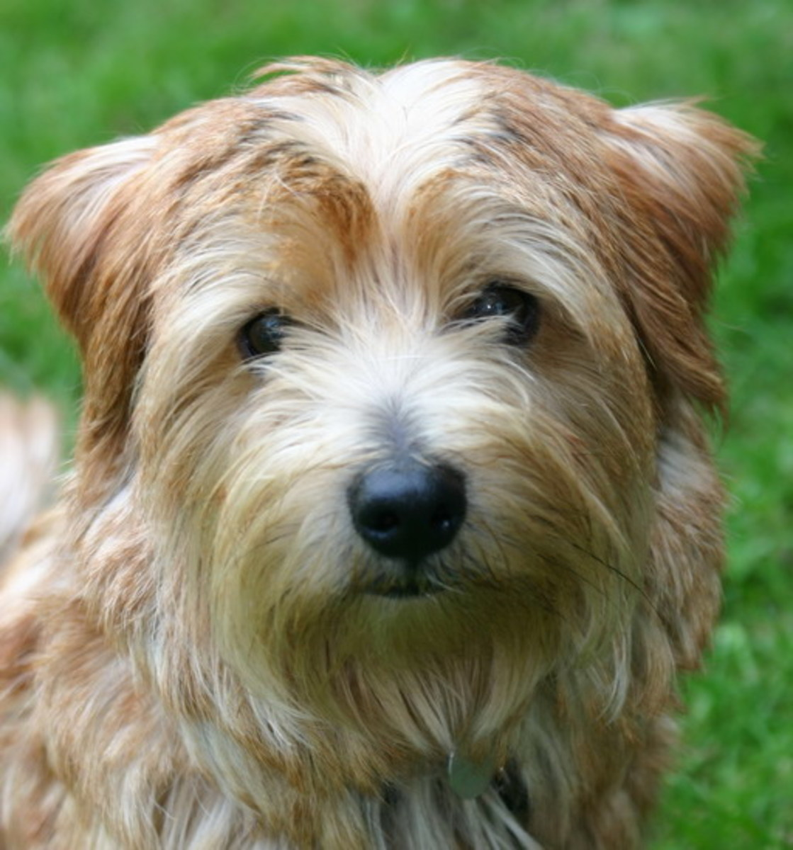 Norfolk Terrier smiles for the camera.