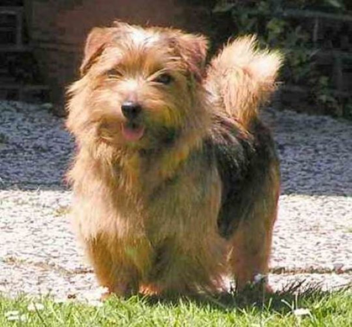 Wirehaired variety of the Norfolk Terrier.
