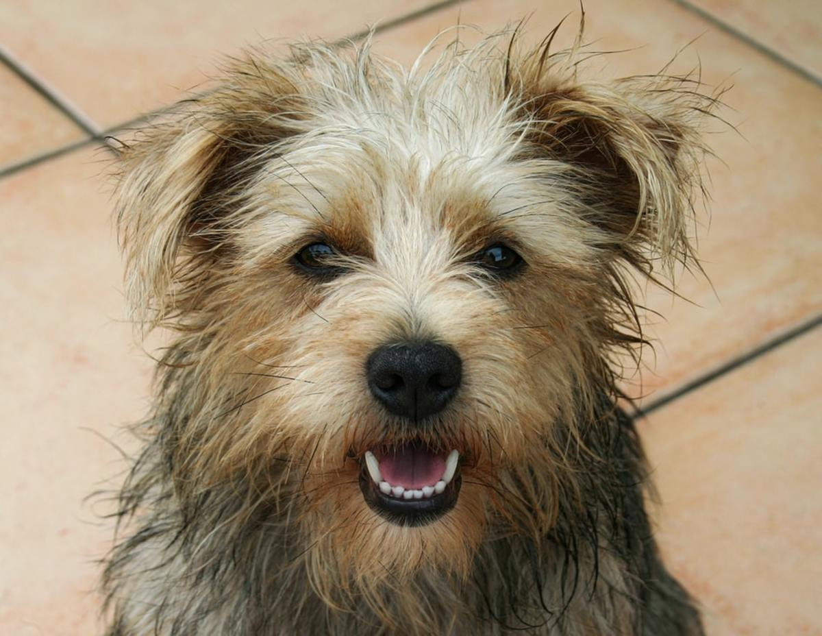 Norfolk Terrier poses for the camera.