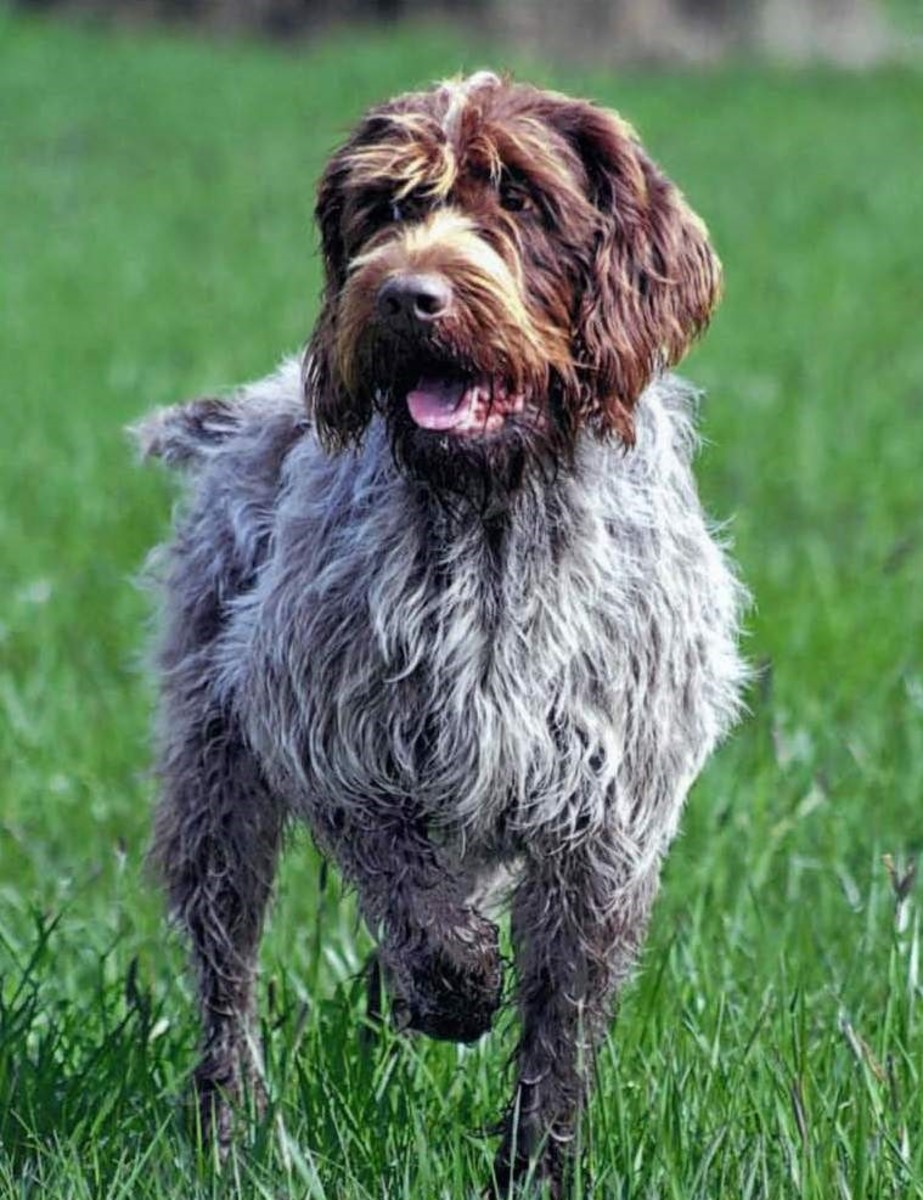 A Wirehaired Pointing Griffon poses for the camera outdoors.