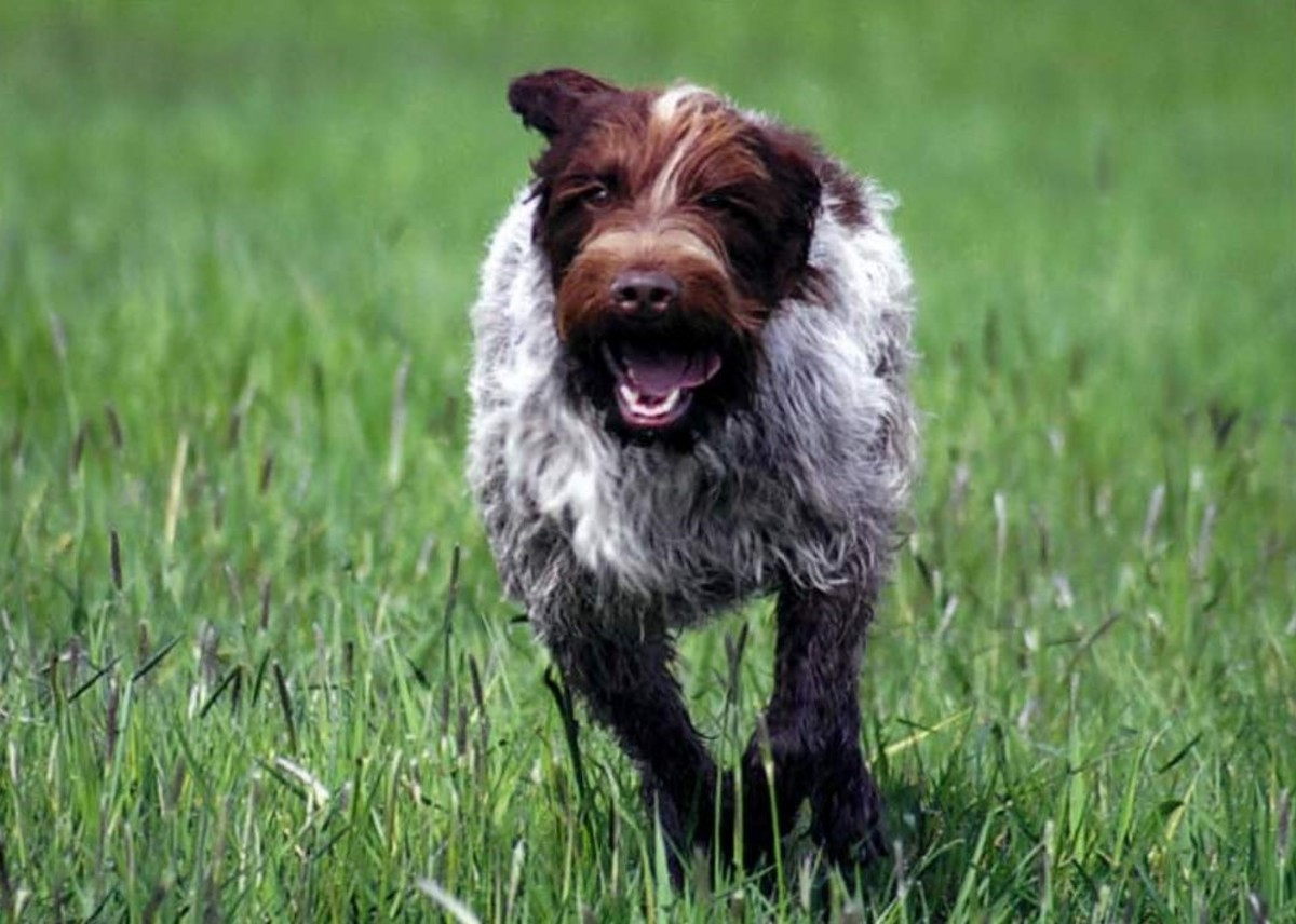 Wirehaired Pointing Griffon playing outside.