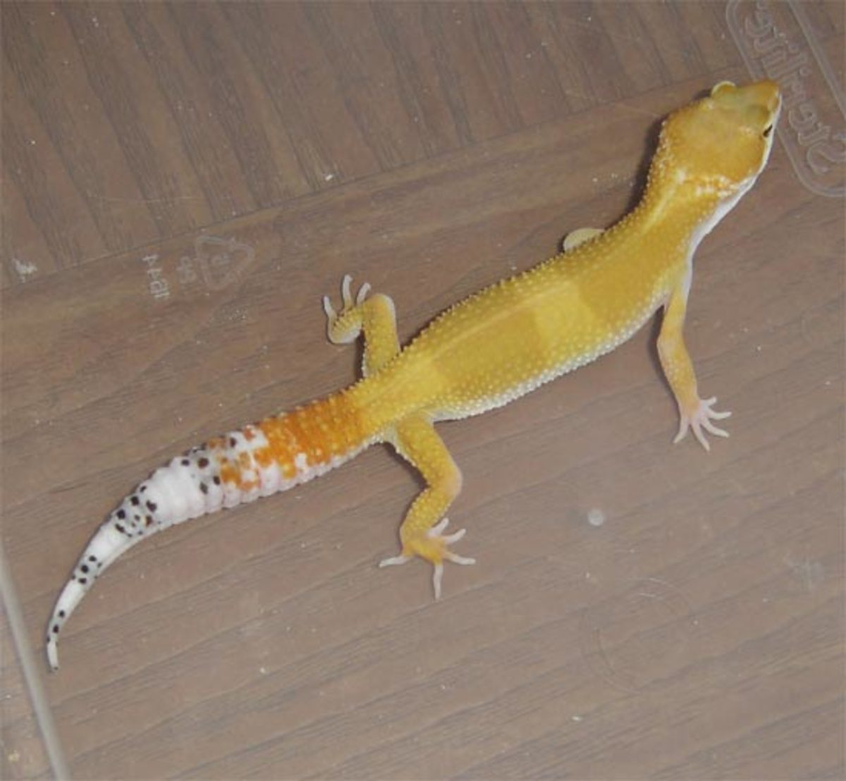 my_leopard_gecko_quit_eating