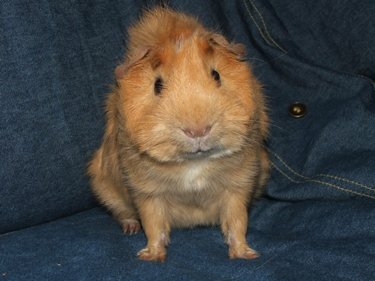 Fortunately, guinea pigs are NOT allergic to cuteness.