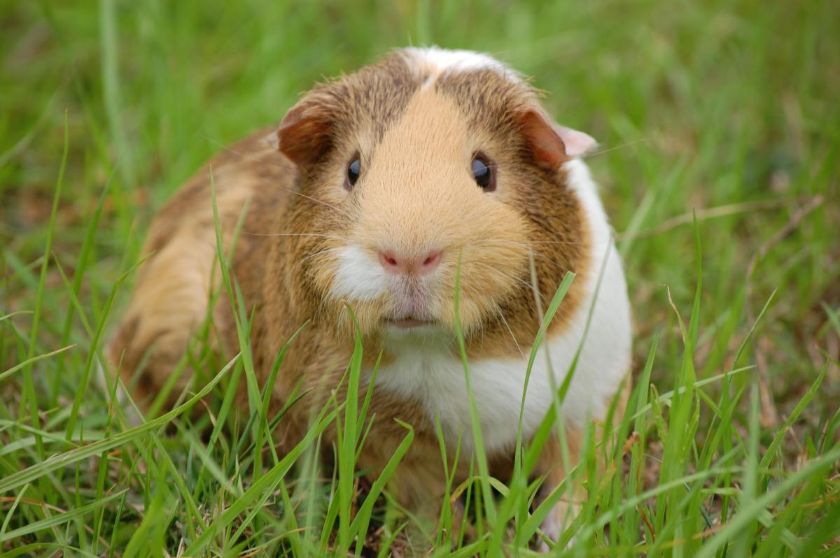 Guinea pigs are one of the more difficult pocket pets to house-train.