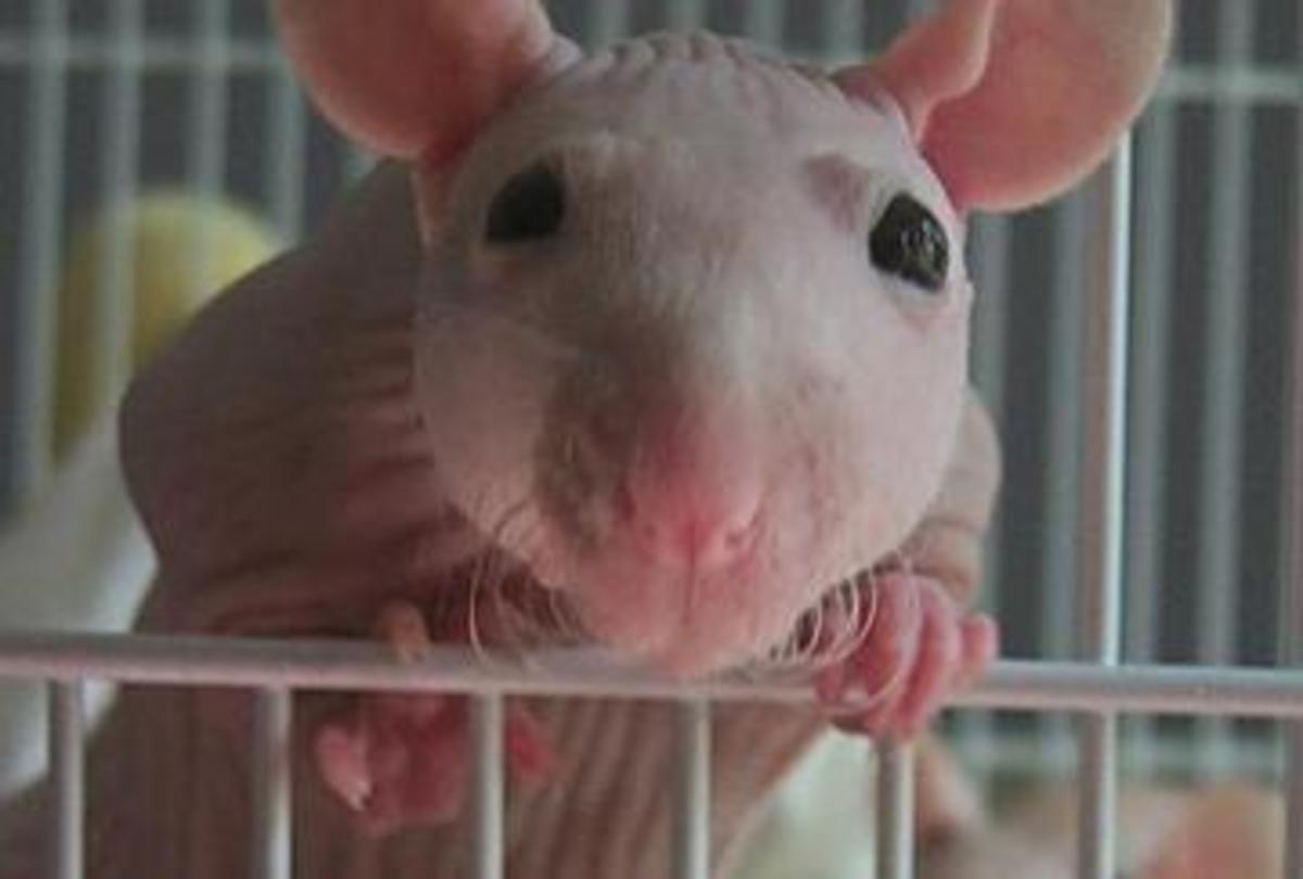 My rat, Godiva—never camera shy! (RIP)