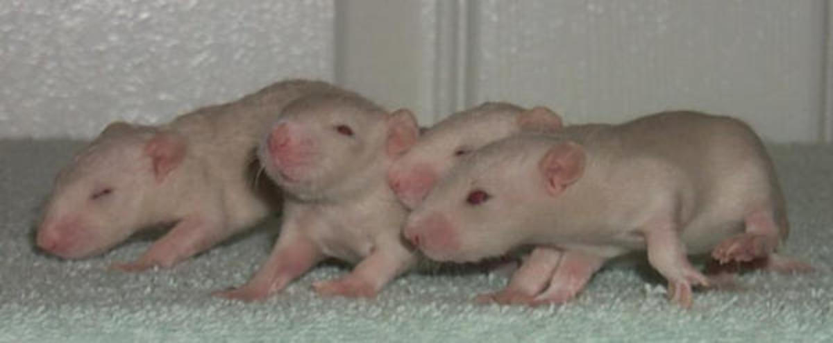 Two regular-coated and two sloppy rex babies born to a furless mother.