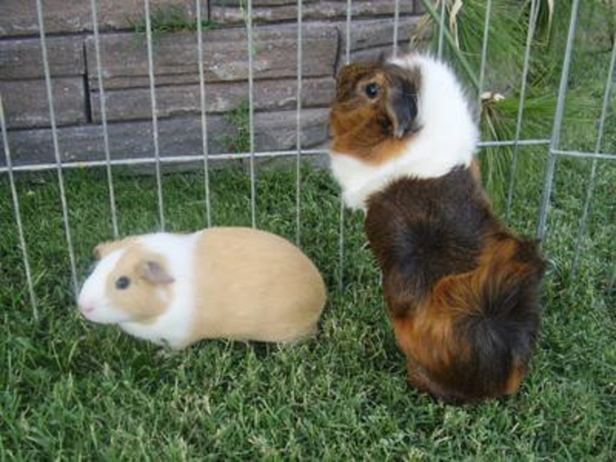 All About Abyssinian Guinea Pigs