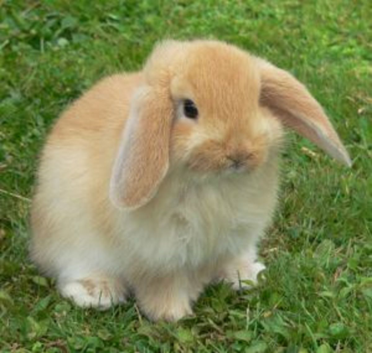 Bunny Breed Guide: Mini Lop/ Holland Lop Rabbits