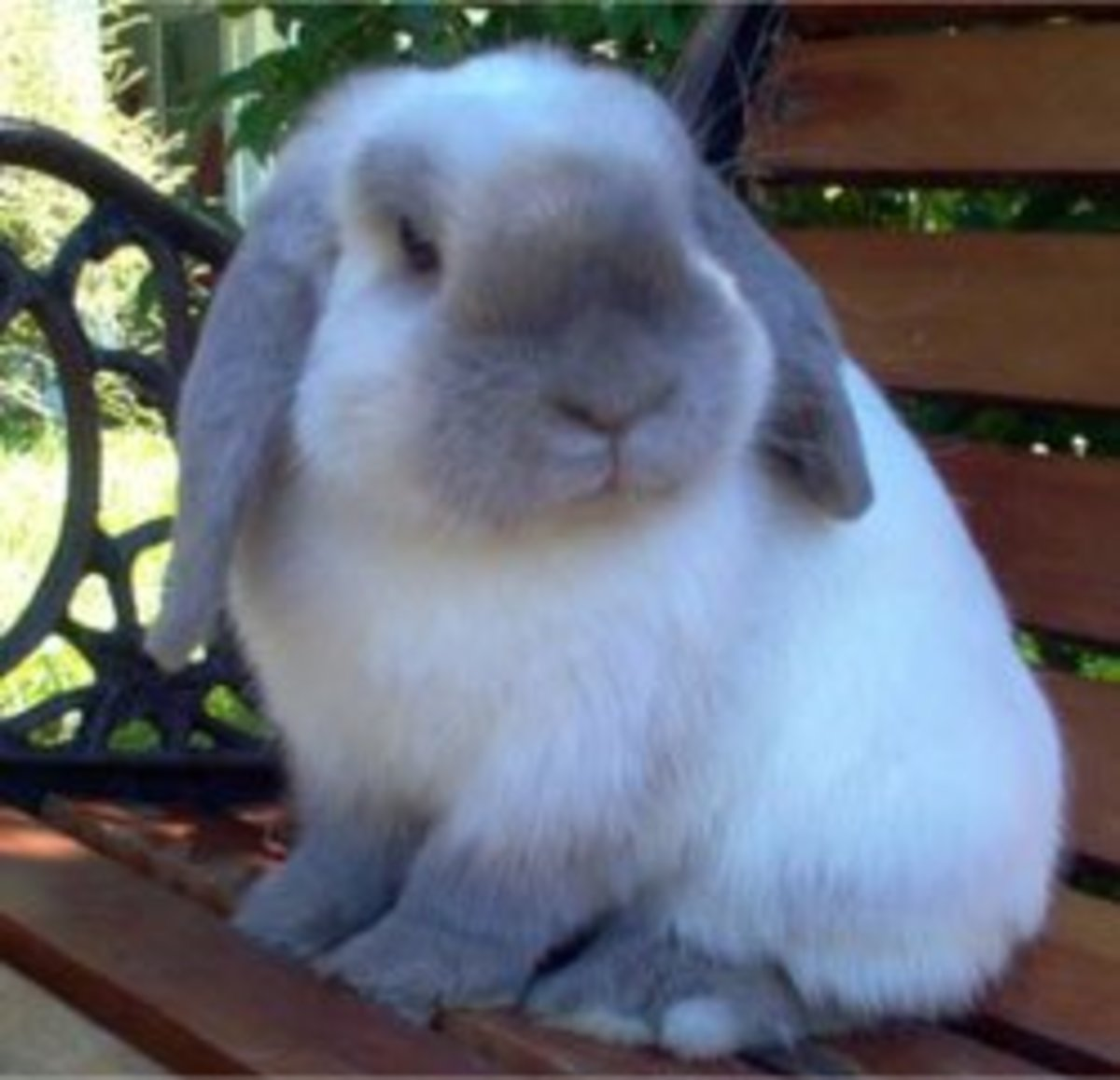 Bunny Breed Guide: Mini Lop/ Holland Lop Rabbits