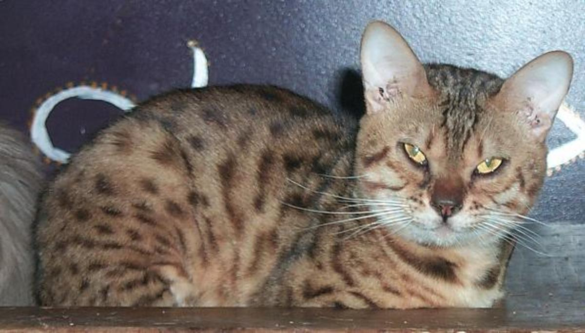 The truth about tabbies basic tabby cat genetics
