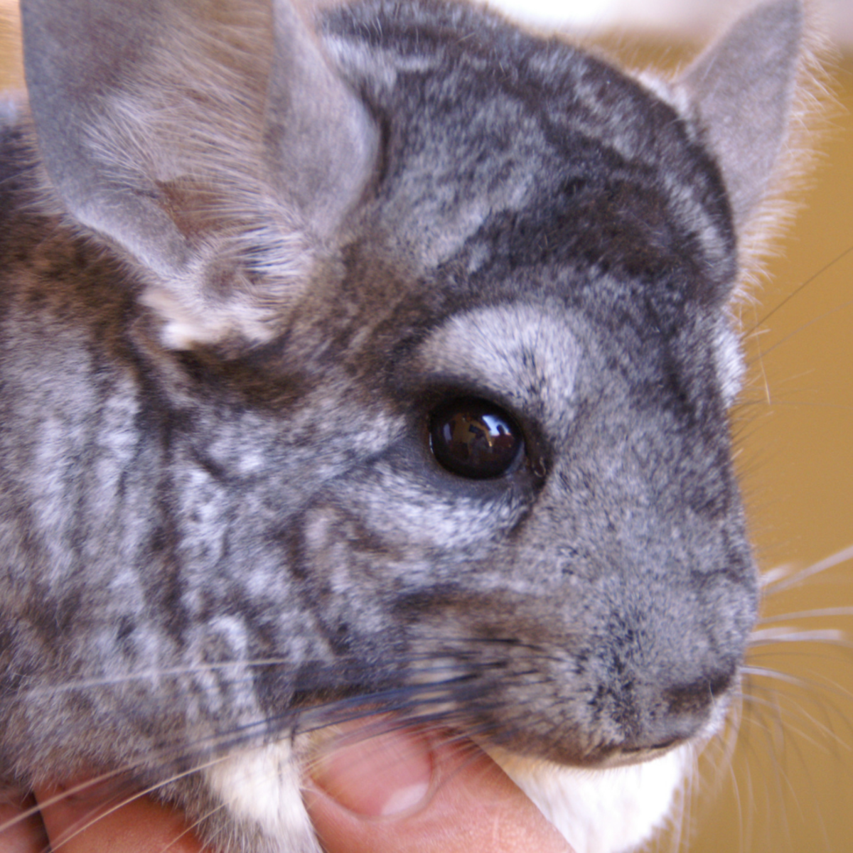Learn how to identify the signs of a sick chinchilla.