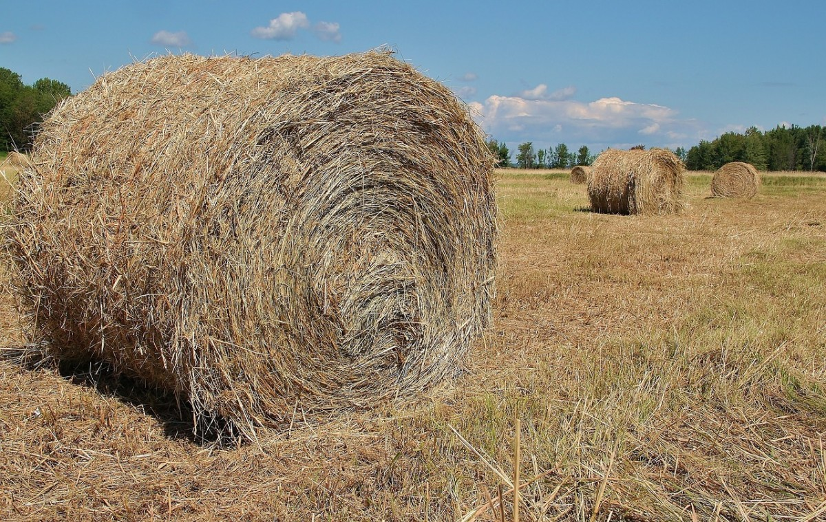 Hay (or dried grass) should make up the bulk of your bunny's diet.