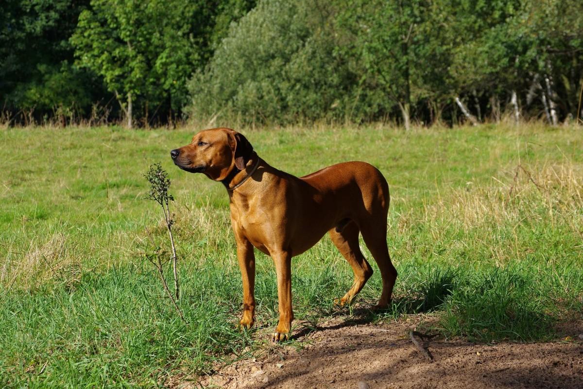 A Rhodesian Ridgeback guarding his territory