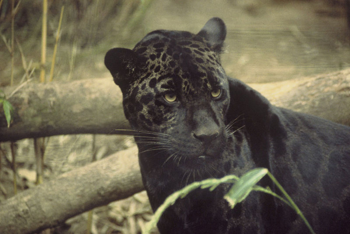 The Melanistic gene is particularly stunning in jaguars where it causes a black coat with darker black spots.