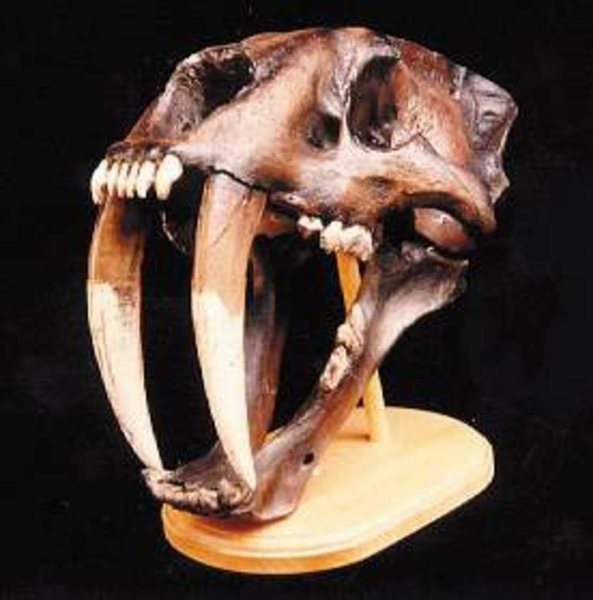 Sabre toothed cats have evolved, gone extinct, and evolved again many times. Some think they may be on their way back.