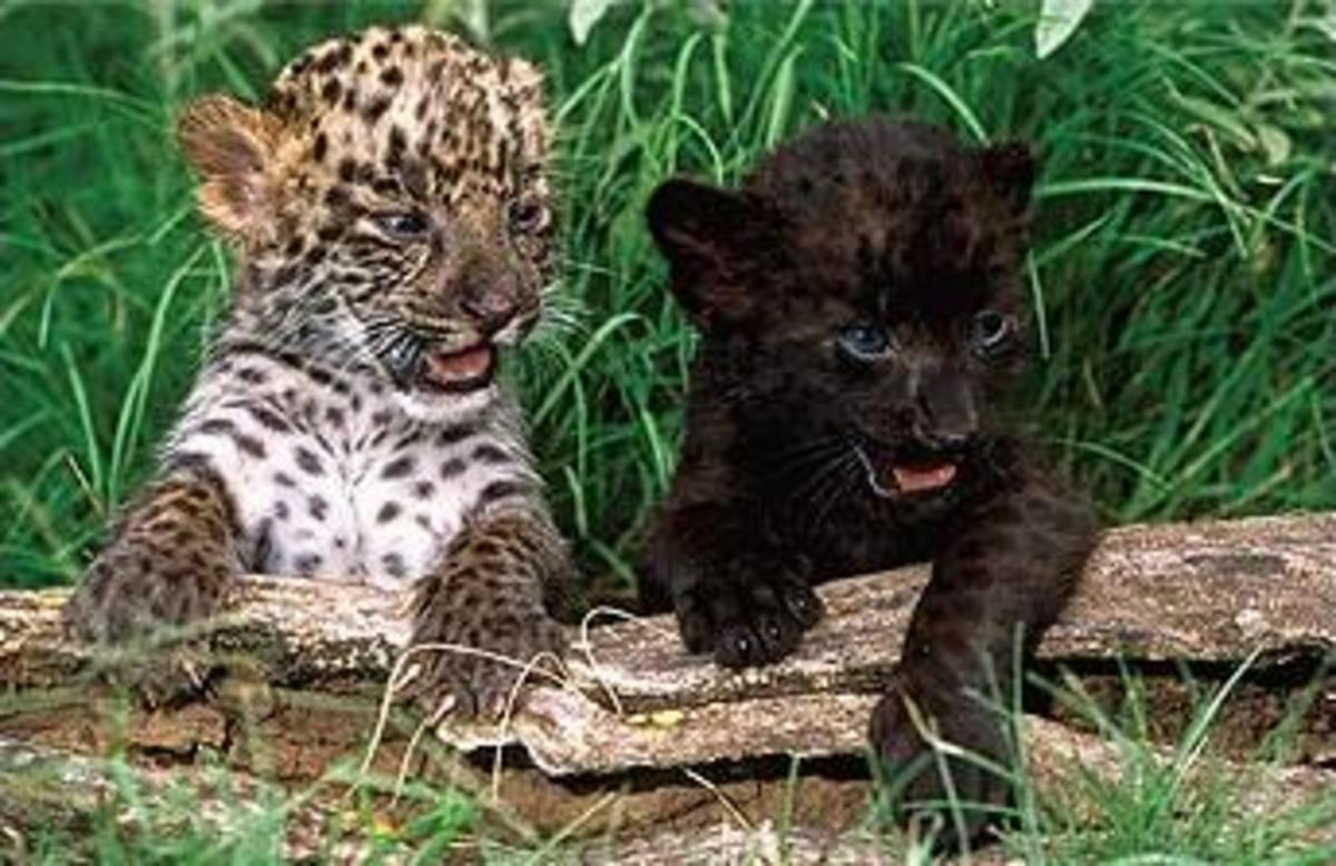 "Regular baby leopard and a melanistic ""black panther"" sibling."