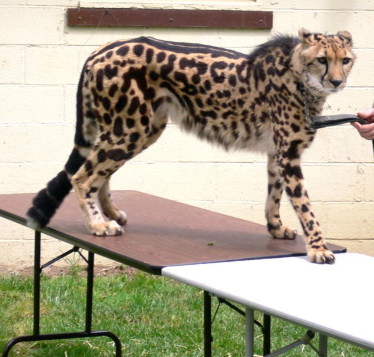 King leopards have dark, elongated spots.