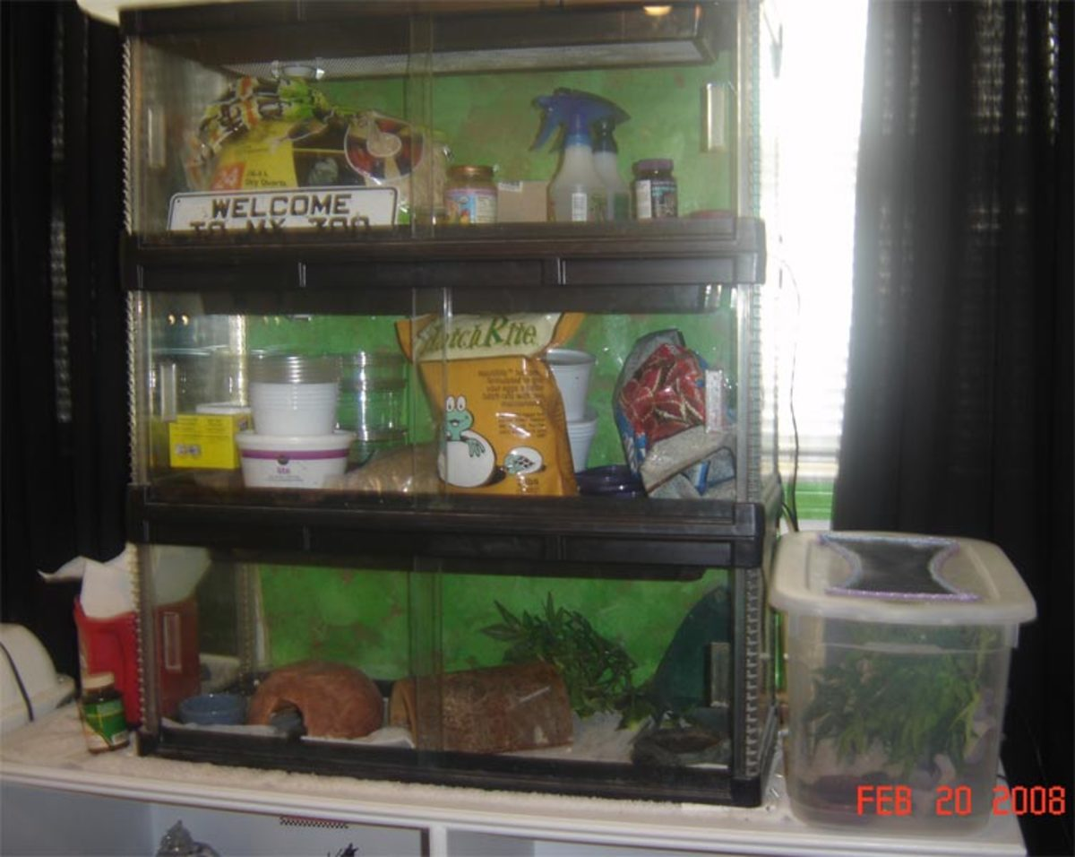 Incubation supplies in middle cage, other supplies in top. Male pet leopard gecko in bottom cage. Juvenile gargoyle gecko to right.