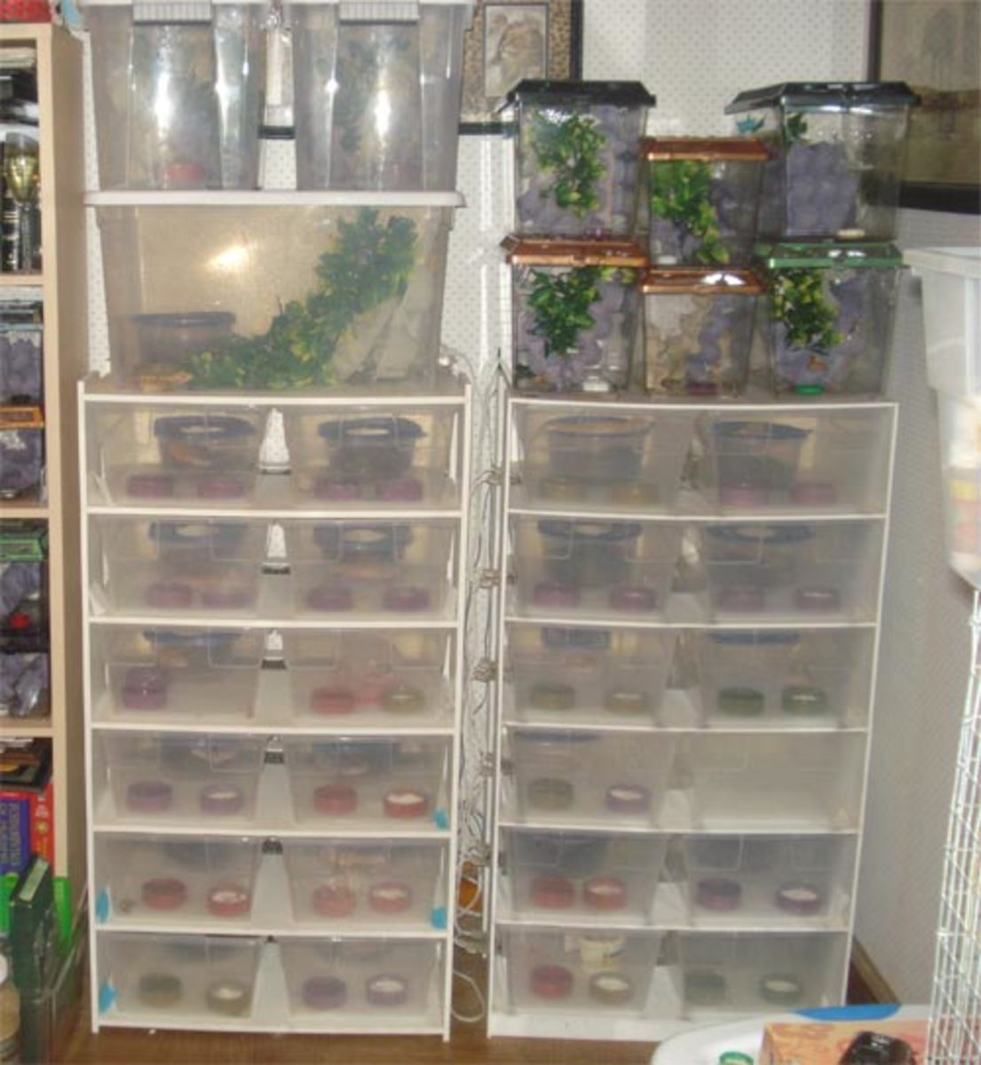 Leopard gecko breeders; crested gecko breeders on left; juvie cresteds and gargs on right
